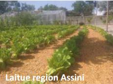 Laitue region Assini