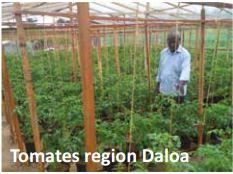 Tomates region Daloa
